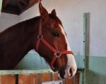 Koń w stajni.