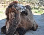 Zoo w Zieleniewie. Wielbłąd.