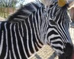 Zoo w Zieleniewie. Zebra.
